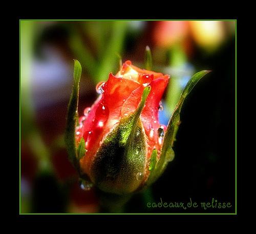 Rose Jewels
